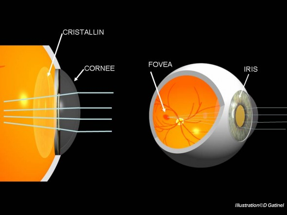 La cornée et le cristallin permettent de focaliser les rayons lumineux vers la rétine.