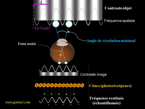 Acuité visuelle et densité des photorécepteurs
