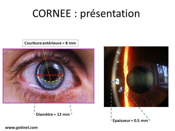 La cornée est une coupole globalement hémisphérique, située à l'avant de l'œil. Elle est transparente, et permet de visualiser les détails de l'iris et de la pupille irienne.