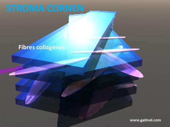 kératocytes et stroma cornéen