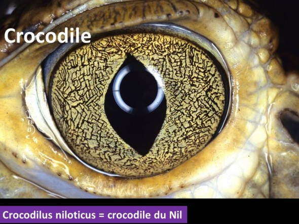 Oeil de crocodile pupille