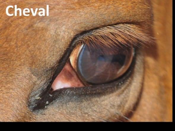 Les chevaux ont des yeux de grande taille, parmi les plus gros de tous les mammifères terrestres: son diamètre atteint 4 cm, contre environ 2.4 cm pour l'homme. La large pupille horizontale permet à l'animal d'embrasser un vaste champ visuel latéral, et d'accomplir des variations de surface importante. Les chevaux ont une relativement bonne vision nocturne en partie grâce à la taille de leur œil, qui permet de collecter une plus grande quantité de lumière.
