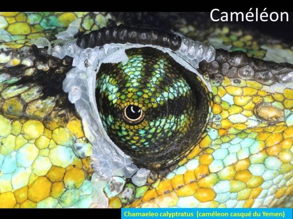 photo d'oeil de caméléon