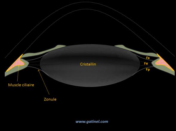 Muscle ciliaire a repos: il fait partie du corps ciliaire, sur lequel sont insérées les fibres de la zonule : Fa : fibres antérieures, Fe : fibres équatoriales, Fp: fibres postérieures.