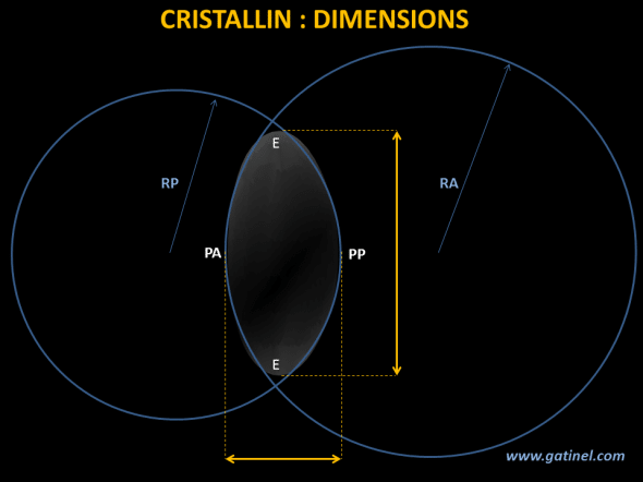 Overall dimensions of the crystalline, akin to an asymmetrical biconvex lens.  RA: anterior curvature RADIUS, RP: posterior curvature RADIUS. PA: anterior pole. PP: posterior pole. E: Ecuador. PA: anterior pole, PP: posterior pole