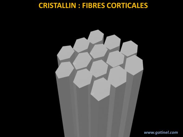 fibres du cristallin (cortex)